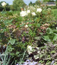 white-rose-garden2